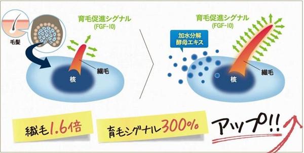 ケノミカで育毛促進シグナル(FGF-10)が約300%も増殖