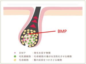 「髪の毛を作れ」という指示を出す物質BMP((Bone Morphogenic Protein(骨形成因子))