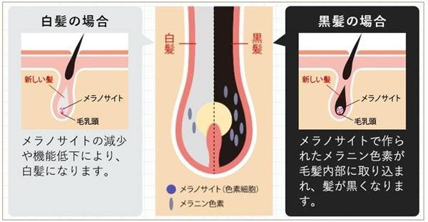 ヘマチン・メリタンがメラノサイトを活性化する