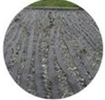 褐藻(かっそう)