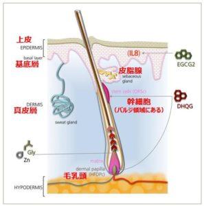 毛包幹細胞と毛乳頭